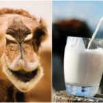 Eight reasons why camel milk is a healthier alternative