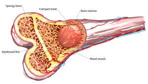 bone-marrow-